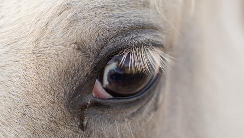 appaloosa horse argentina