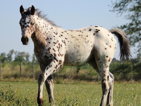 Historia y características de los caballos raza appaloosa