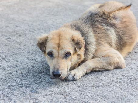 Holanda y los perros callejeros. By Tibiboo-Préstame tu perro.
