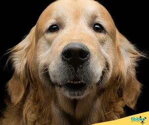 Las 10 mejores razas de perros para niños : El Golden Retriever