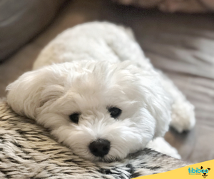 Las 10 mejores razas de perros para niños : El Bichon