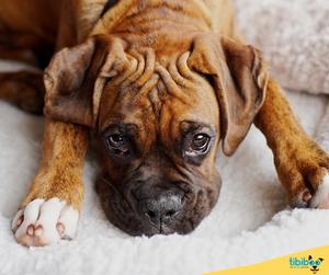 Las 10 mejores razas de perros para niños : El Boxer