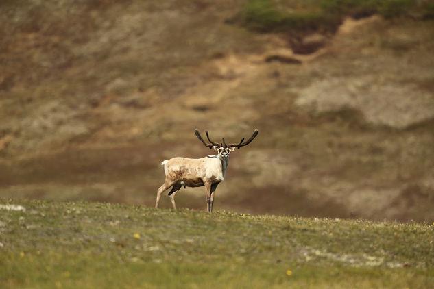 Caribou. Alaska Wildlife photography tour