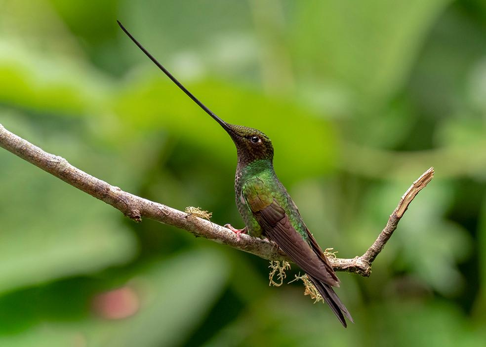Sword-billed Hummingbird P9090025 small.