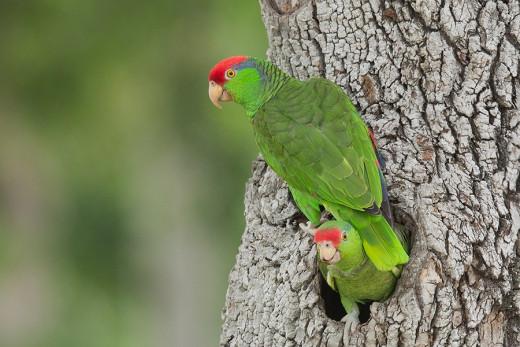 Red-crowned-parrots-176A0066.jpg-nggid04