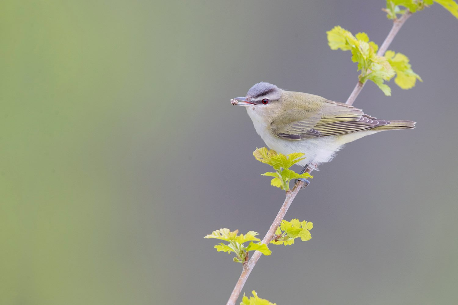 Red-eyed Vireo  Laurie 18318981_10155431431997427_3459370280612869265_o