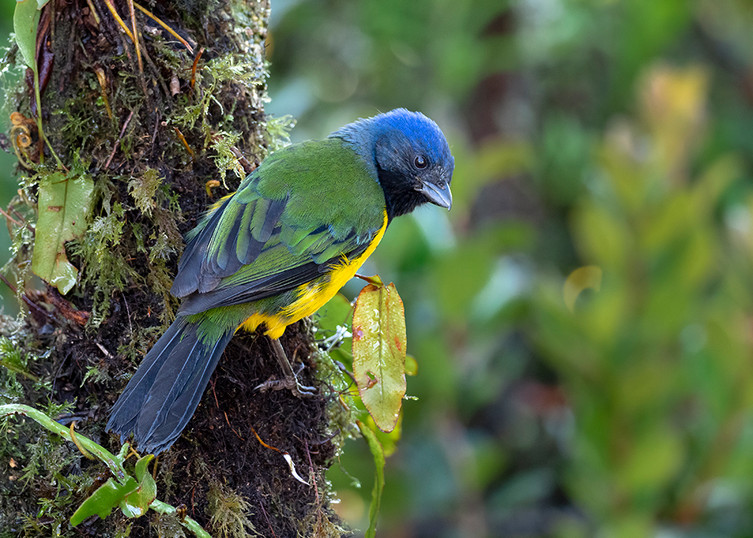Black-chested Mountain-Tanager PC170237