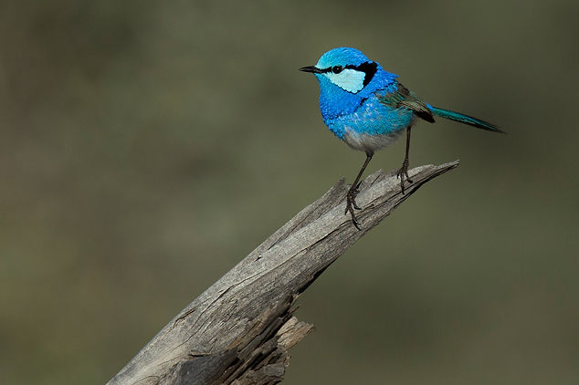 Spendid Fairywren. Australia bird and wildlife photography tour