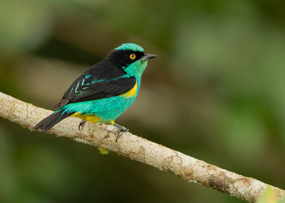 Black-faced (Yellow-tufted) Dacnis PC201
