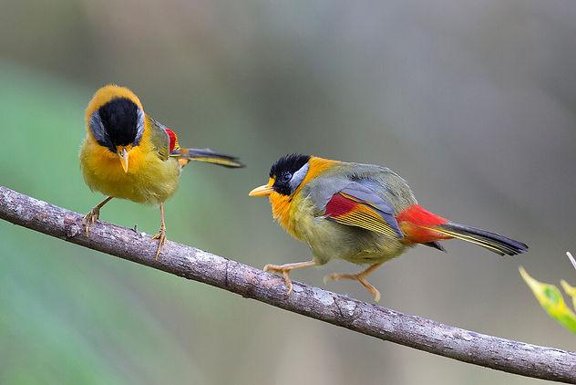 Silver-eared Mesia. Malaysia Bird Photography Tour