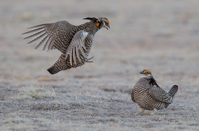 Greater Prairie-Chicken. Colorado bird photography workshop
