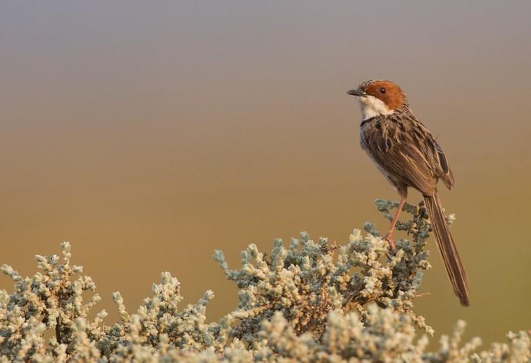 WEB-Rufous-eared-Warbler.jpg