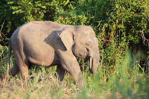 Borneo Pygmy Elephant. WIldlife photography tour