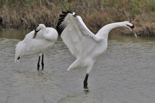 whooping-crane-img_8127.jpg-nggid041957-