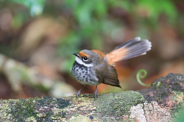 Rufous Fantail. Australia bird and wildlife photography tour