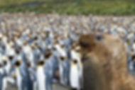 King Penguin. Antarctica wildlife photography cruise