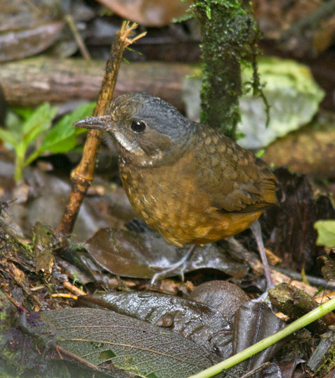 Moustached Antpitta IMG_0716 small.jpg