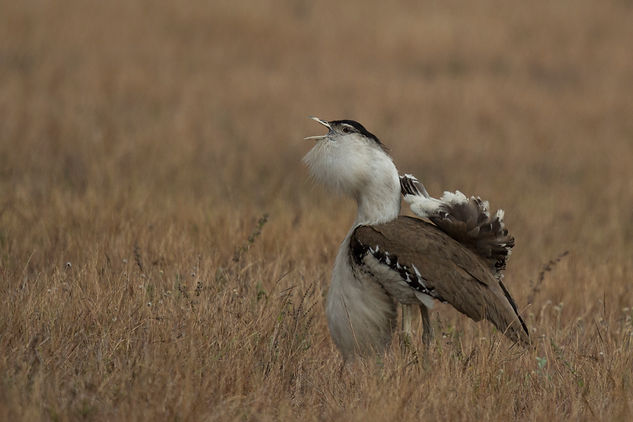 Australian Bustard. Australia bird and wildlife photography workshop