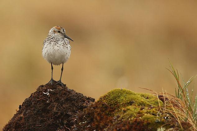 Western Sandpiper Alaska bird photography tour