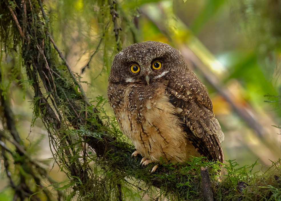 White-throated Screech-Owl PC170508 smal