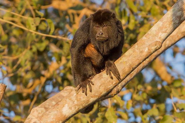 Howler. Brazil wildlife photography tour