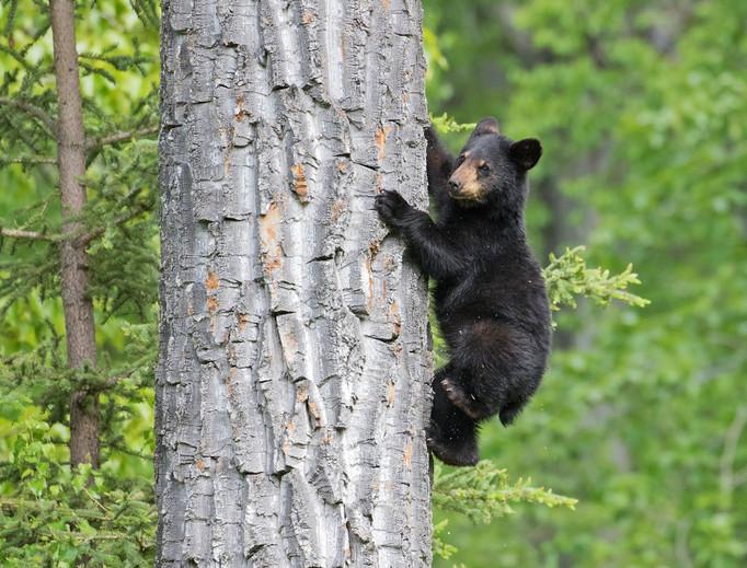 Black-Bear-cub-Eagle-River-Nature-Center