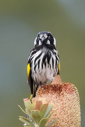 New Holland Honeyeater for catalog cover
