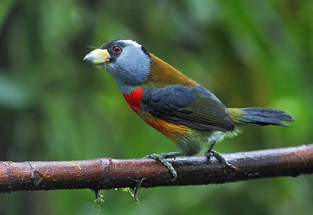 Toucan Barbet. Ecuador Bird Photography workshop