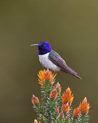 Ecuadorian Hillstar. Ecuador Bird Photography workshop