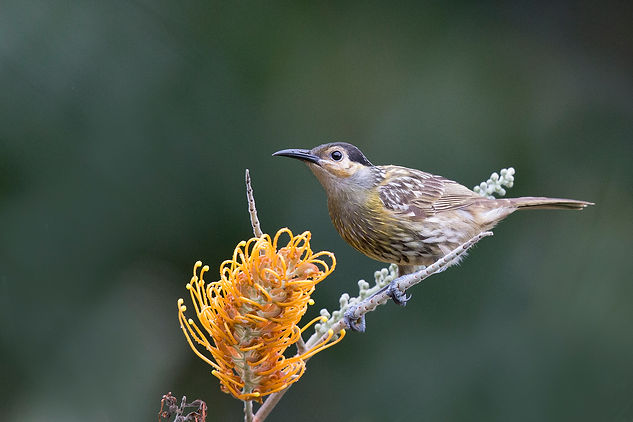 Maclay's Honeyeater. Australia bird and wildlife photography tours