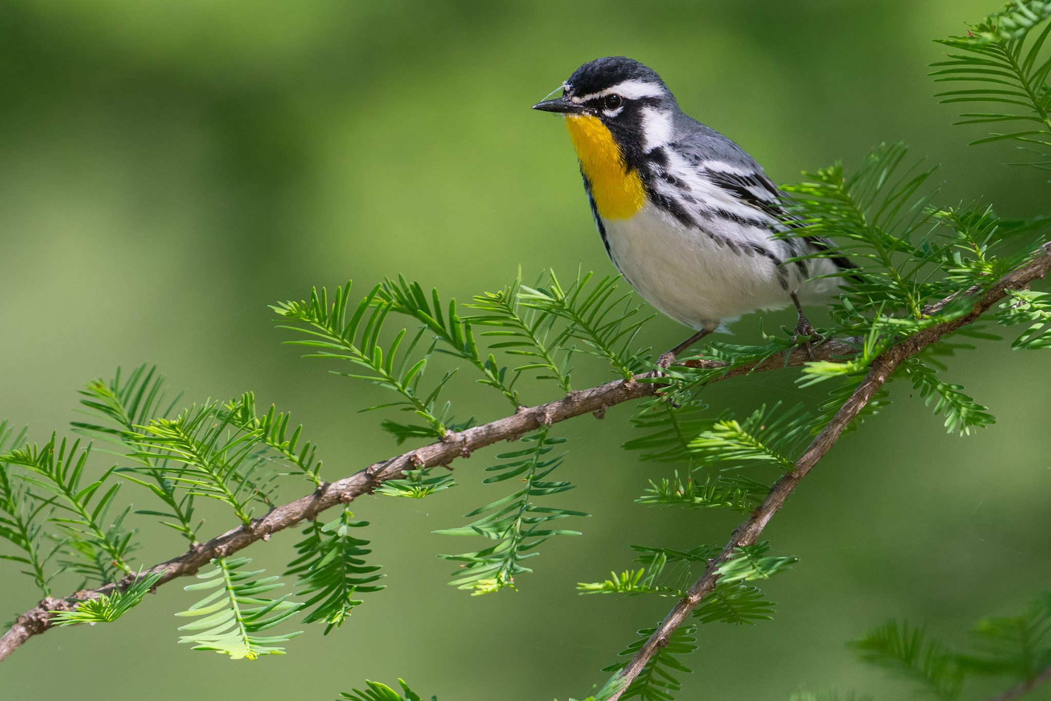 Yellow-throated Warbler  Lisle 17991291_10155388865482427_8446557978523119761_o