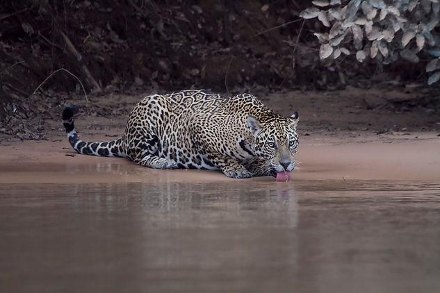Jaguar drinking. Pantanal wildlife photography tour
