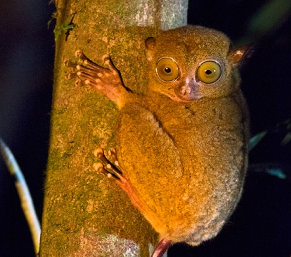 Western Tarsier. Borneo Wildlife Photography Tour