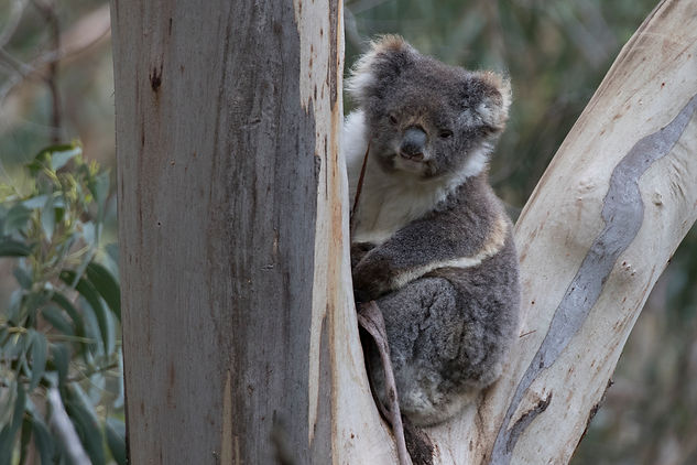 Koala. Australia wildlife photography tour