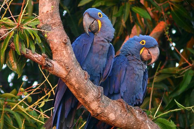 Hyacynth Macaw. Brazil bird photography workshop