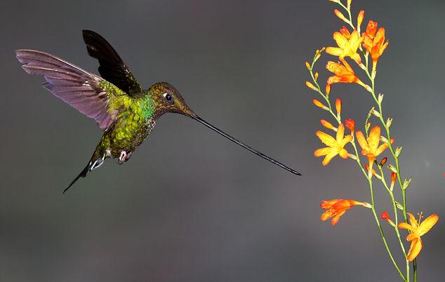Sword-billed Hummingbird. Ecuador bird photography tour