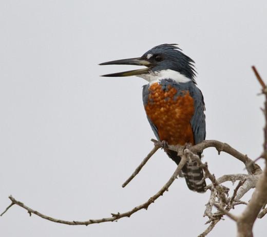 Ringed-Kingfisher-IMG_8927.jpg-nggid0460