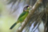 Fire-tufted Barbet. Malaysia bird photography tour