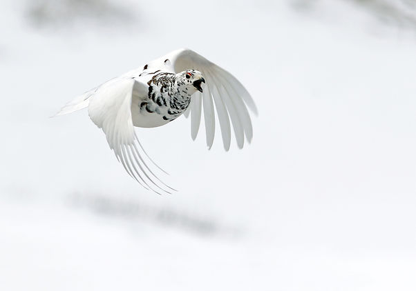 Ptarmigan. Colorado bird photography workshop
