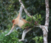 Proboscus Monkey. Borneo wildlife photography tour