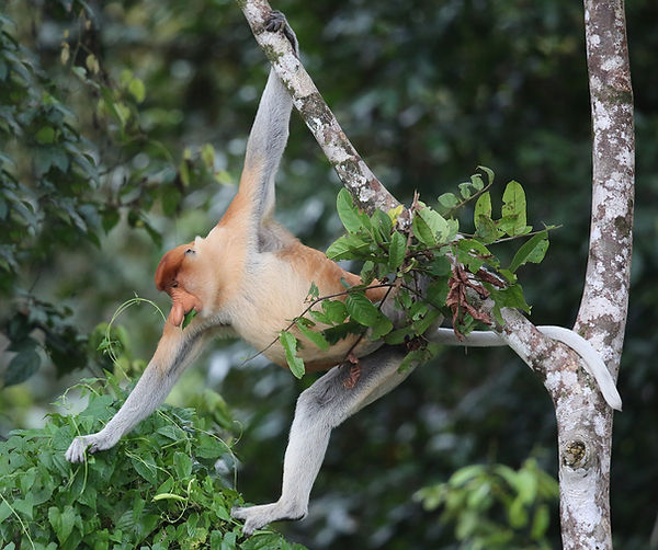 Proboscus Monkey. Borneo wildlife photography tour
