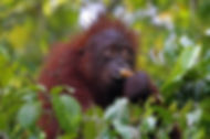 Orangutan. Borneo wildlife photography workshop