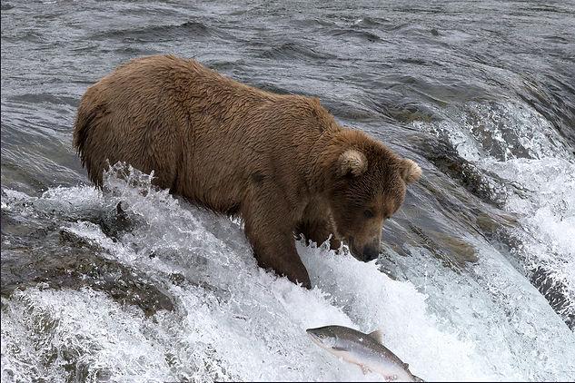 Fishing bear photography tour