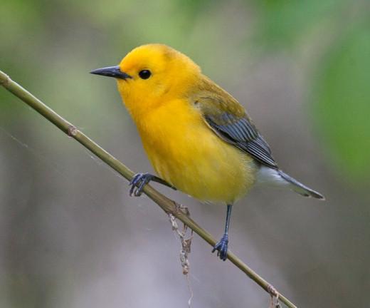 prothonotary-warbler-img_9576.jpg-nggid0