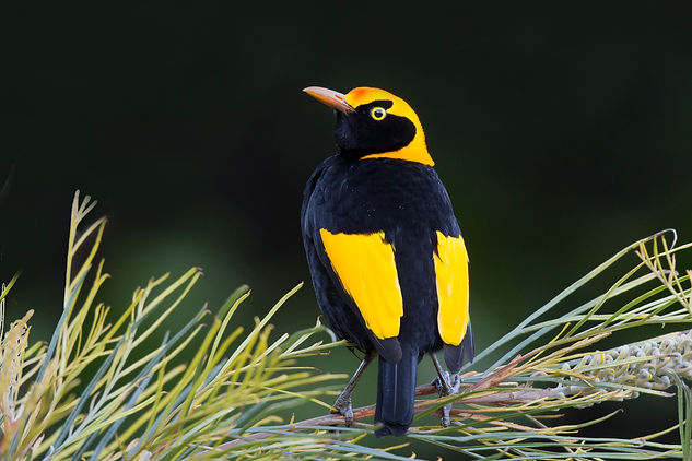 Regent Bowerbird. Australia Bird and wildlife photography tour