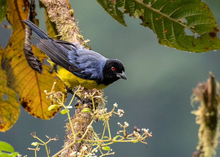 Hooded Mountain-Tanager P9057055 small.j
