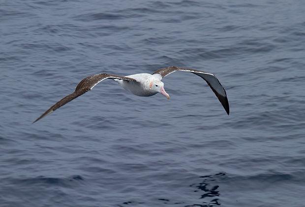 Wandering Albatross. Antarctica wildlife photography cruise