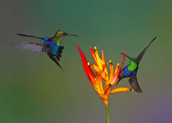 Green-crowned Woodnymph. Ecuador hummingbird photography workshop