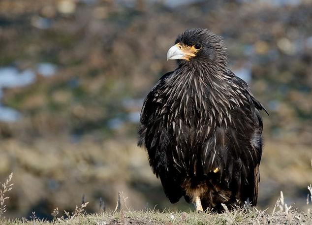 Striated Caracara. Antarctica wildlife photography cruise