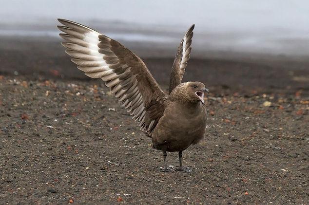Subantarctic Skua. Antarctica wildlife photography cruise